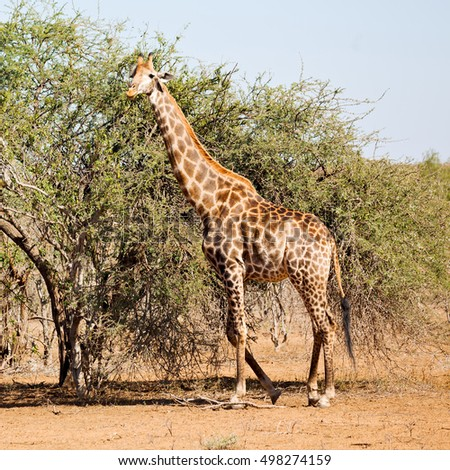 south africa   kruger  wildlife    nature  reserve and  wild giraffe