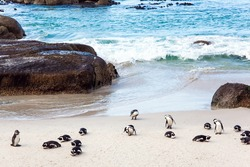 South Africa. Large flock of spectacled penguins resting on a sandy ocean shallow. Sandbank with large rocks and algae. Penguin Conservation Area near Cape Town.