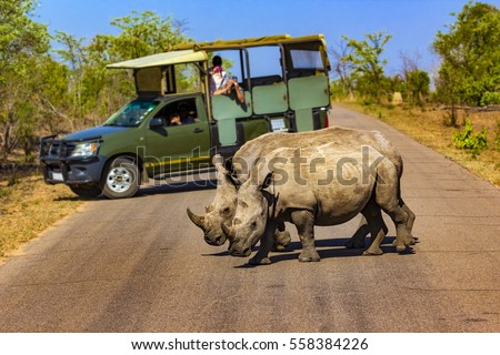 South Africa. Safari in Kruger National Park - White rhinos (subspecies south white rhinoceros, Ceratotherium simum simum). Selective focus in the foreground