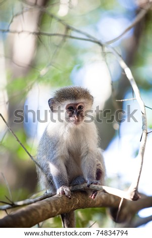 South African Blue monkey sitting in a tree.