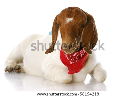 south african boer goat doeling wearing red bandanna with reflection isolated on white background
