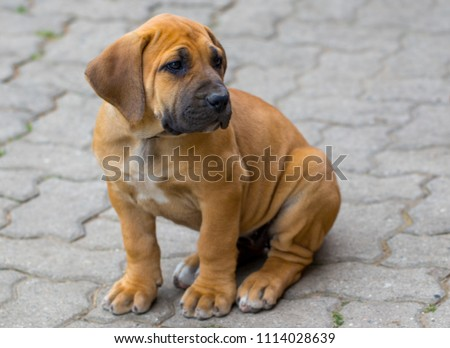 Bull Mastiff puppy isolated on a blue background Images and