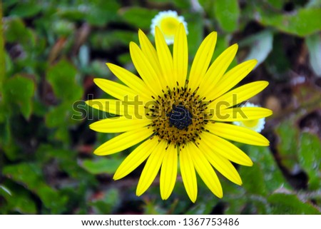 South African dandelion or Cape weed arctotheca calendula in bloom in late winter is a common prostrate spreading weed with sunny yellow single blooms attracting bees to the field or garden. #1367753486