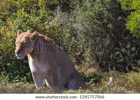 South African female lion standing next to a bush #1345757066