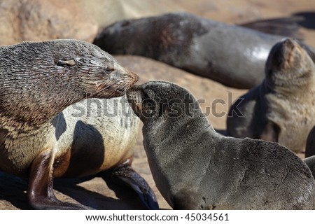 South African fur seal mother with young, Skeleton Coast, Namibia, Southern Africa - stock photo