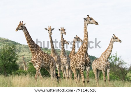South African giraffe (Giraffa, G. camelopardalis) Family of giraffes standing on a hill in the thick lowveld, Pilanesberg National Park, Kalahari and lowveld, South Africa #791148628