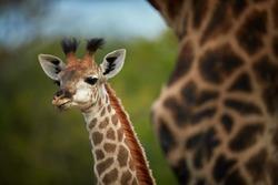 South African giraffe, Giraffa giraffa, portrait of curious young giraffe staring directly at camera behind mothers neck. Kapama, Kruger area, South Africa.