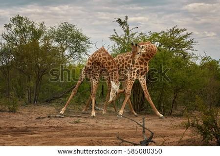 South African giraffe, Giraffa giraffa, two males fighting for dominance. Kapama, Kruger area, South Africa.