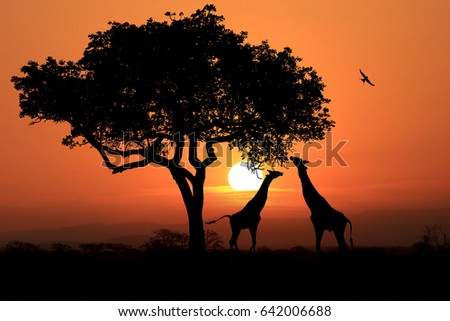 South African Giraffes at Sunset in Africa #642006688