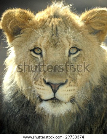 south african lion, male juvenile looking at camera, kruger national park,africa big cat