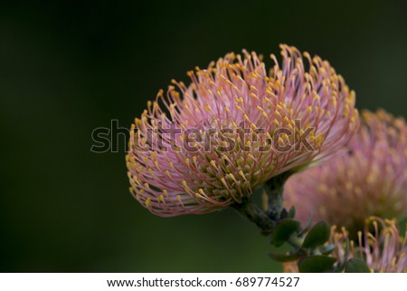 south african national flower in cape town gardens ez canvas