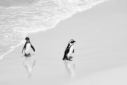 South African Penguins Wild Penguin Beach Swimming Walking Cape Penguin Boulders Beach Colony Water Reflection Cute Adorable Exotic Animals