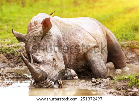 South African wild rhino bathing in the mud, big dangerous horned animal, big five member, safari game drive, exotic tourism expedition