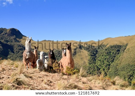 South America Alpaca and llama with Volcano on the background, Pasochoa Ecuador