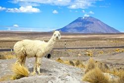 South America Alpaca with Volcano EL Misti
