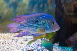 South American cichlid in aquarium (Geophagus brasiliensis)