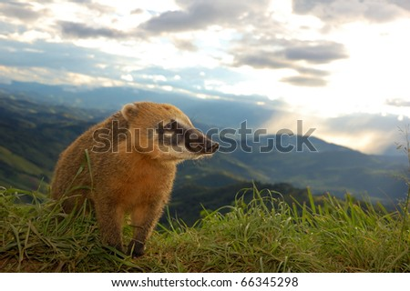 South American Coati on the Edge with a tropic rain on the background