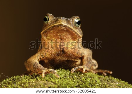 south american crested toad rhinella typhonius sitting on a patch of moss