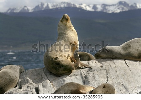 South American fur seals (Arctocephalus australis) resting on the rocks
