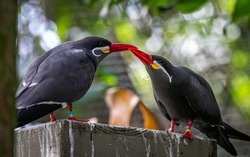 South American Inca Tern Bird with mustache