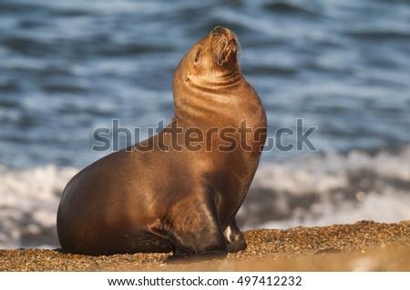South American Sea Lion\n