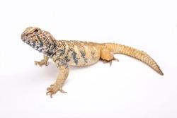 South Arabian Spiny-tailed Lizard (Uromastyx yemenensis), Yemen