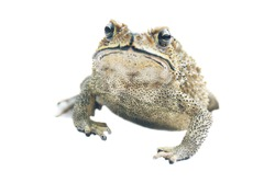 South Asian garden toad (Bufo melanostictus) from Vietnam. The amphibians is isolated on a white background. The view from the top