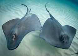 South Atlantic Stingrays in The Caribbean Sea