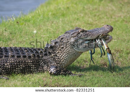 South Carolina alligator enjoys the seafood on Hilton Head Island