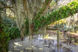 South Carolina low country swamp landscape with Live Oak Tree and Spanish moss.