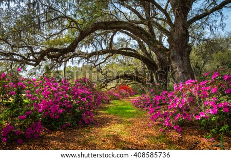 South Carolina Spring Flowers Charleston SC Lowcountry Scenic Nature Landscape with blooming pink azaleas and live oak trees with spanish moss