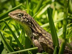 South Florida Reptiles Urban Environment