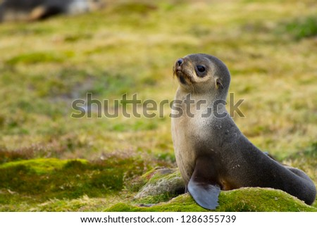 South Georgia. Stromness. Antarctic fur seal (Arctocephalus gazella) pup.