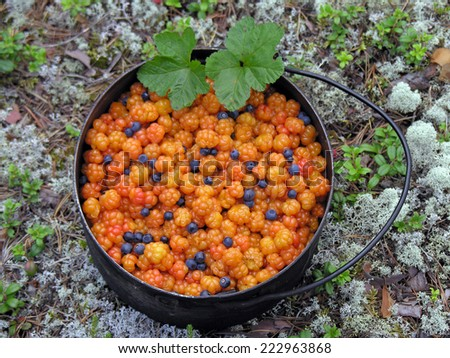 South Karelia, beginning of August, cloudberry with some blueberries.