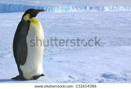 South pole Emperor penguins