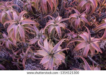South Spanish rose aloe plant #1354121300