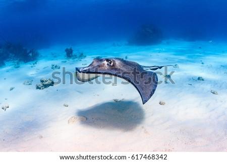 South Stingray gliding over a sandy sea bed #617468342