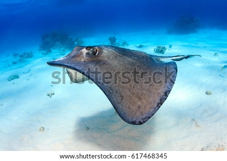 South Stingray gliding over a sandy sea bed
