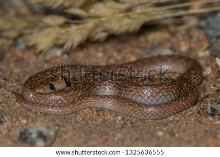 South-western Shovel Snout (Prosymna frontalis)