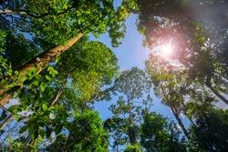 Southeast Asia tourist attraction, Malaysia Borneo, Sandakan, Sabah, the big tree in the jungle