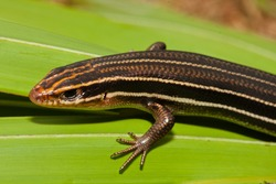 Southeast Five-lined Skink, Eumeces inexpectatus, Plestiodon inexpectatus