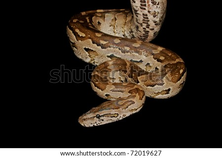 Southern African python (Python natalensis), southern Africa