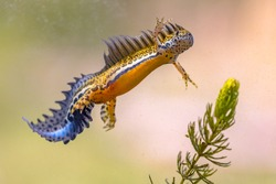Southern banded newt (Ommatotriton vittatus) male aquatic amphibian swimming in freshwater habitat of pond. Underwater wildlife scene of animal in nature of Middle East. Turkey.