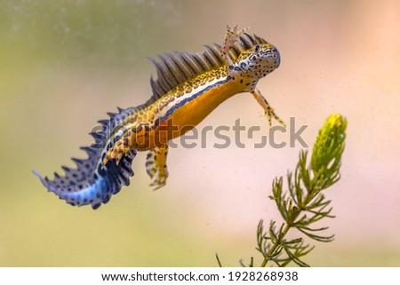 Southern banded newt (Ommatotriton vittatus) male aquatic amphibian swimming in freshwater habitat of pond. Underwater wildlife scene of animal in nature of Middle East. Turkey. ストックフォト ©