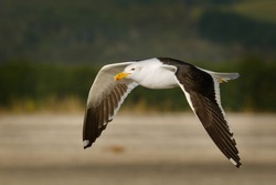 Southern black-backed gull - Larus dominicanus - karoro in maori, also known as Kelp Gull or Dominican or Cape Gull, breeds on coasts and islands through much of the southern hemisphere.