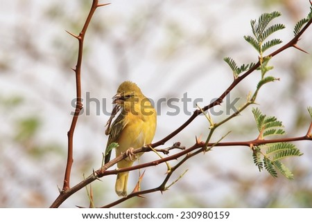 Southern Black Masked Weaver - African Wild Bird Background - Funny Nature and Hilarious Moments