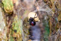 Southern  Black Widow (Latrodectus mactans) or shoe-button spider, guarding her egg sack