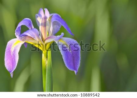 southern blue flag wild swamp iris in florida wetland