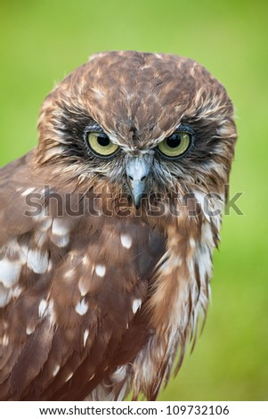 Southern Boobook (Ninox novaeseelandiae), also called the Tasmanian spotted owl - stock photo