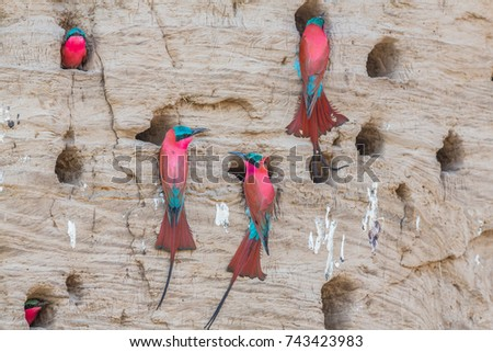 Southern carmine bee-eaters (Merops nubicoides) (formerly carmine bee-eater), nesting in the bank of the Luangwa River, South Luangwa National Park, Zambia, Africa.